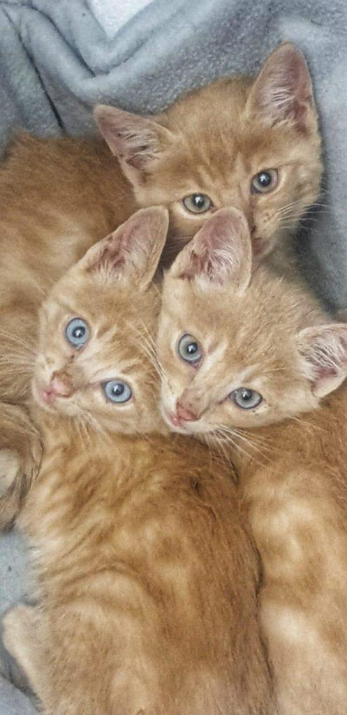 gatti rossi